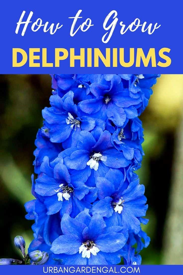 How to grow delphiniums