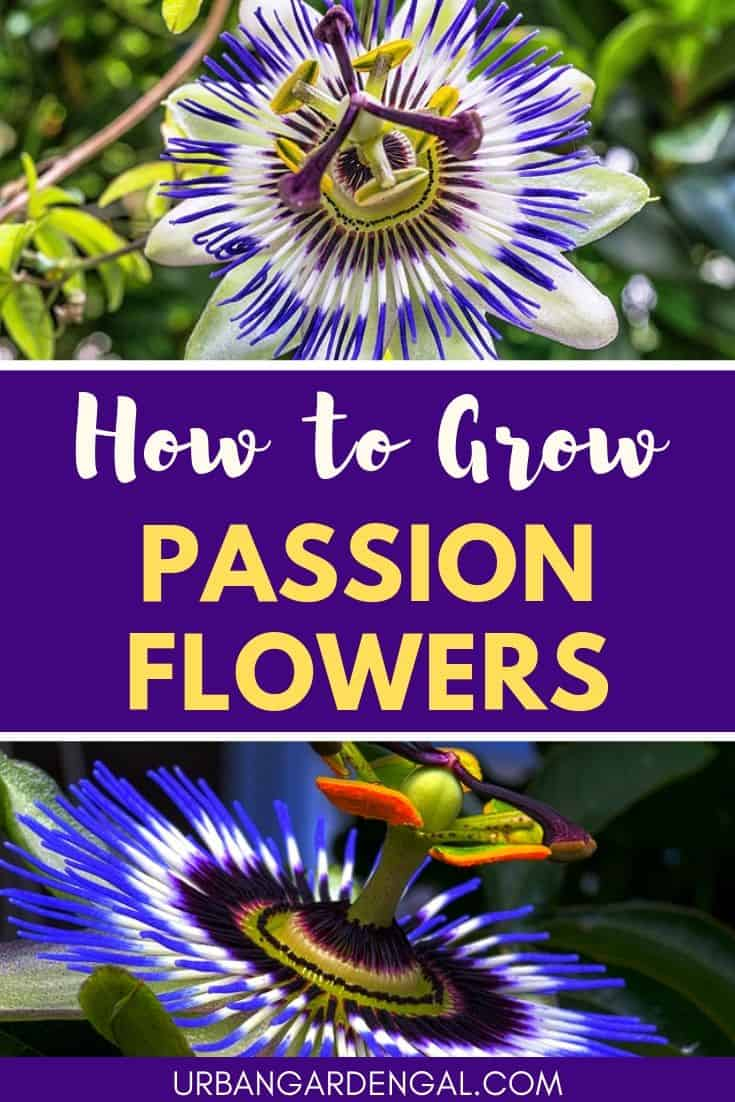 How to Grow Passion Flowers