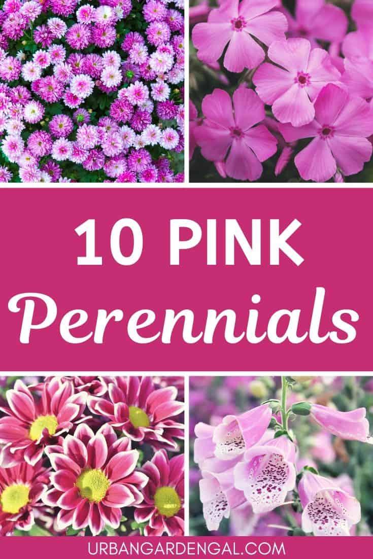 10 Pink Perennials