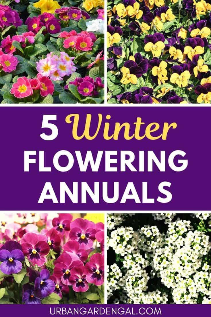 Best winter flowering annuals