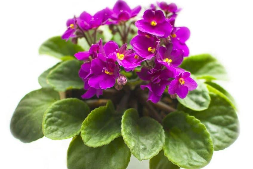 Small African violet plant
