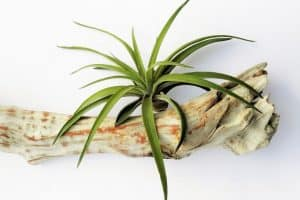 How to Grow Air Plants (Tillandsia)