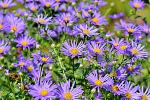 15 Purple Perennials