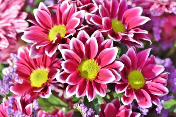 Pink Aster Flowers