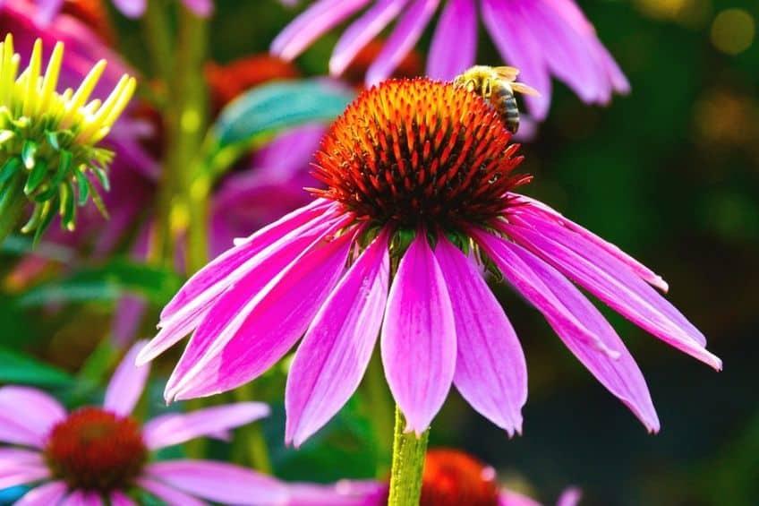 Grow Echinacea