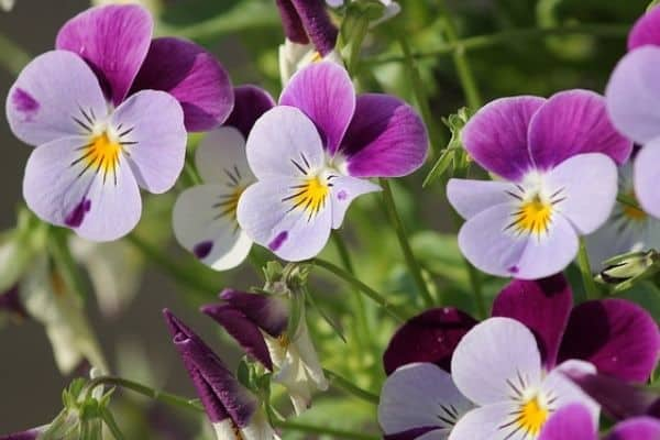 Pansy winter flowering annuals