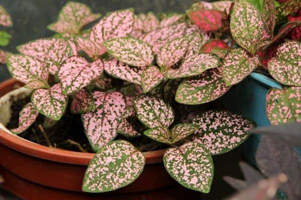 Polka dot houseplant