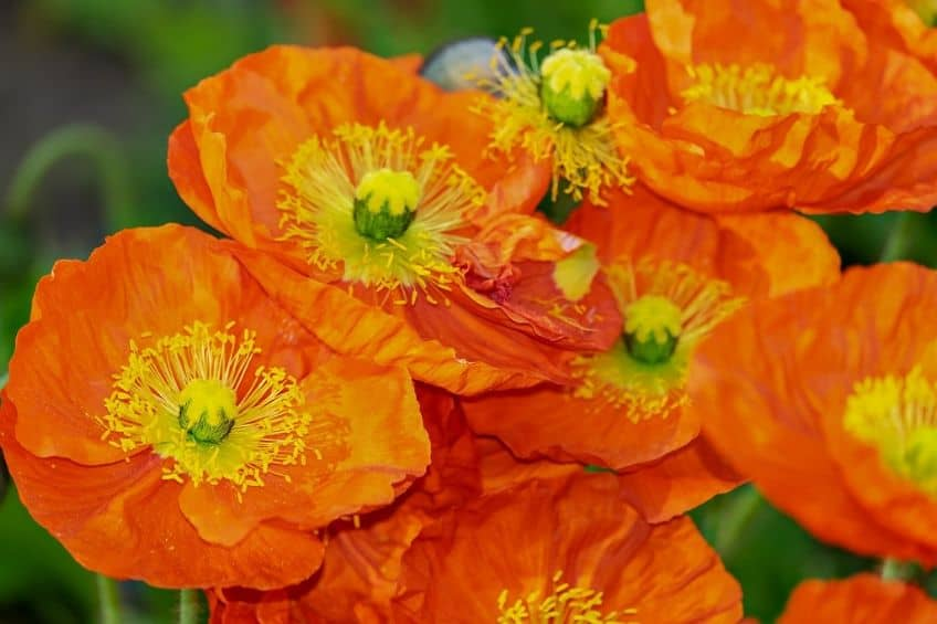 Annual poppies