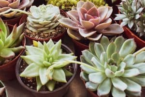 10 Popular Indoor Succulents