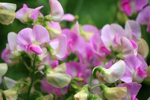 Sweet pea flowering