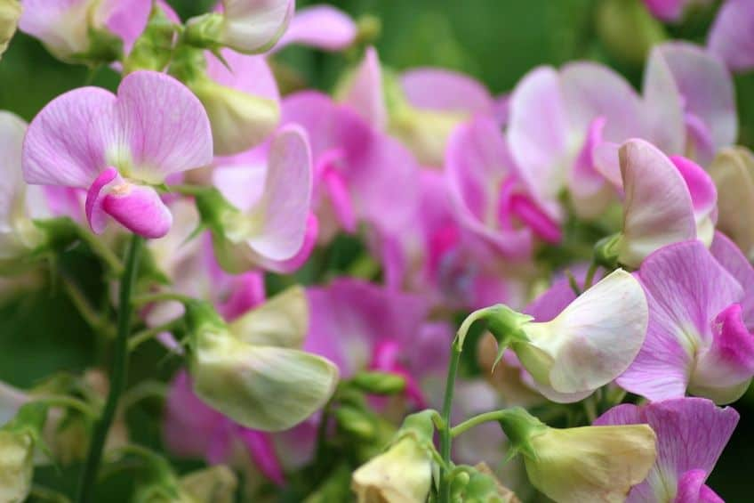 Sweet pea annuals