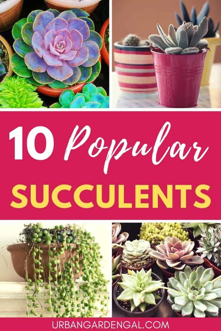 Popular indoor succulent plants