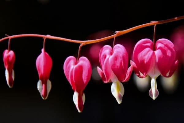 Growing bleeding hearts