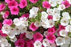 15 Full Sun Annual Flowers