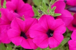 15 Colorful Annual Flowers