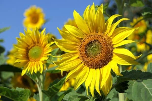 Fast growing sunflowers