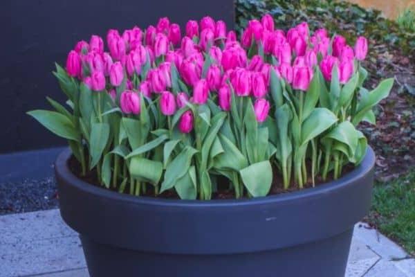 tulip bulbs in pot