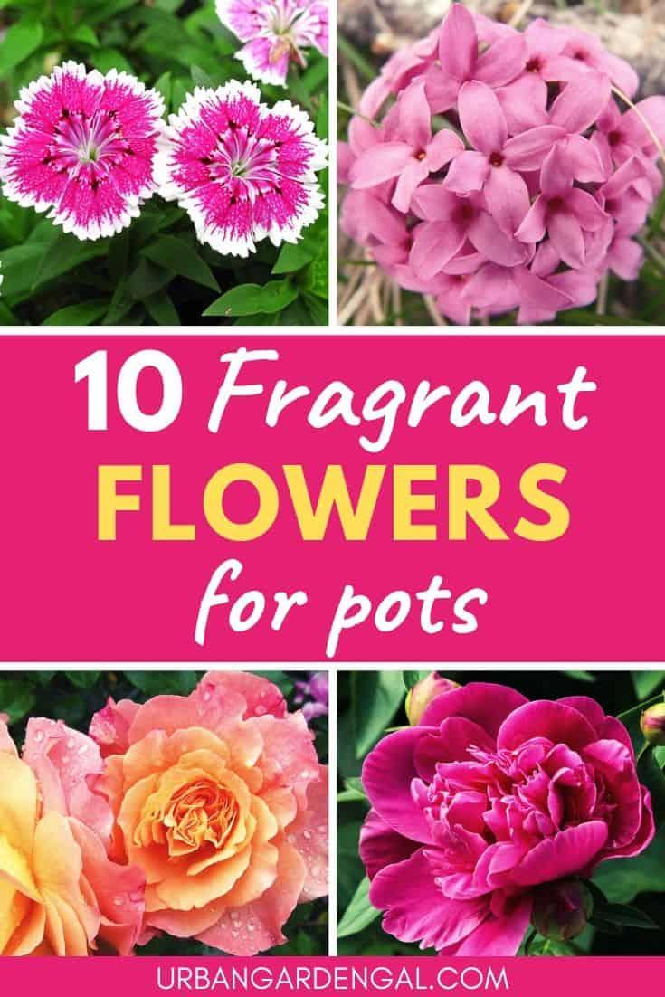 Fragrant flowers for pots