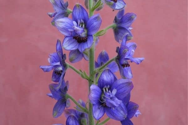 Purple delphinium flowers