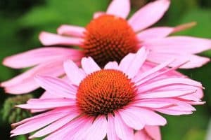 10 Easy To Grow Perennial Flowers