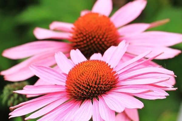 easy perennial flowers