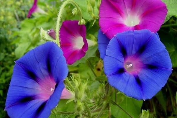 Morning glory flowers