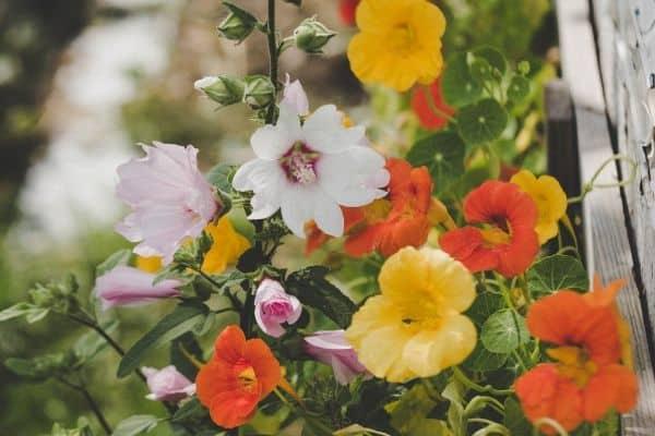 Nasturtiums growing in a garden