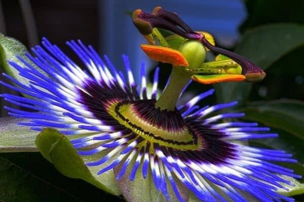 Passion flower growing in garden