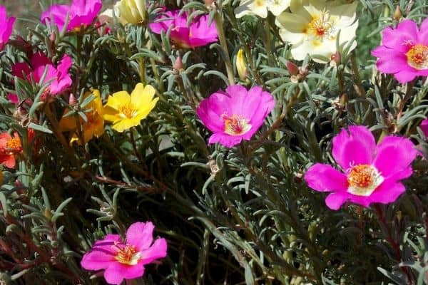 Portulaca colorful flowers