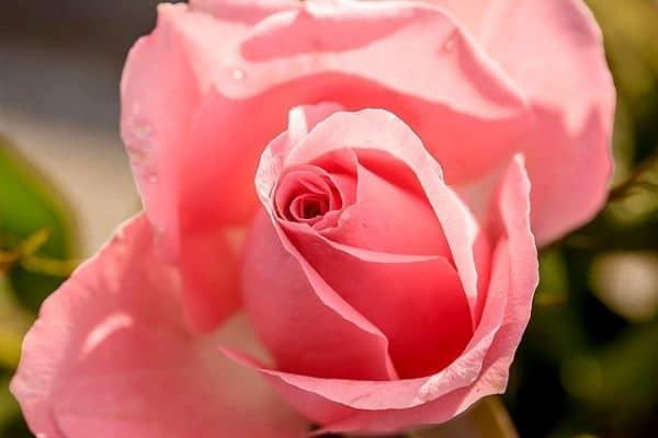Highly fragrant flowers