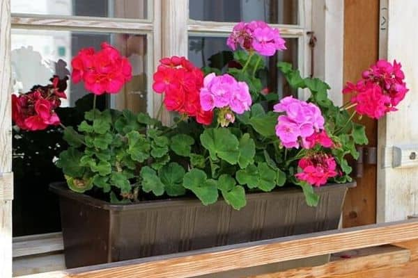 Read more about the article How to Grow Geraniums in Window Boxes