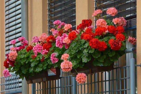 10 Flowers for Window Boxes