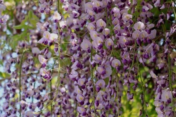 Climbing wisteria flowers