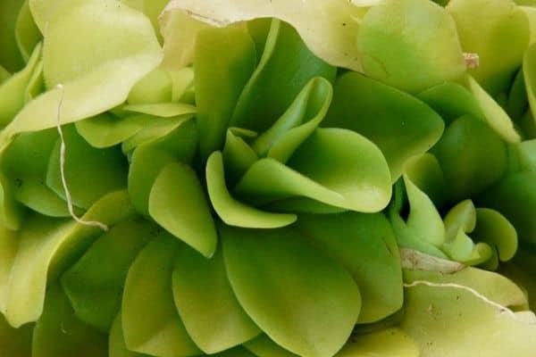 Butterwort plant