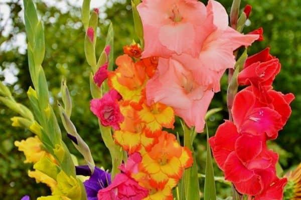 Tall perennial flower plants