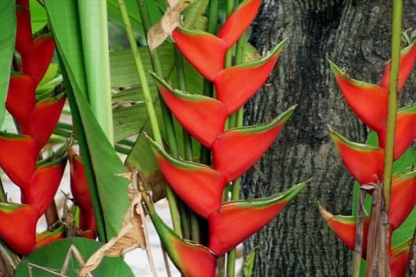 Lobster claw plants