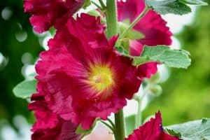 10 Tall Perennial Flowers