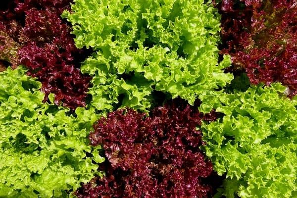 ornamental lettuce plants