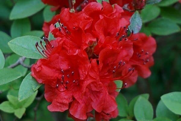 red azalea flowers
