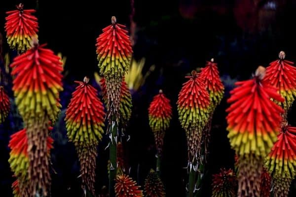 red hot poker flowers