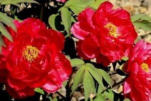 15 Red Perennial Flowers