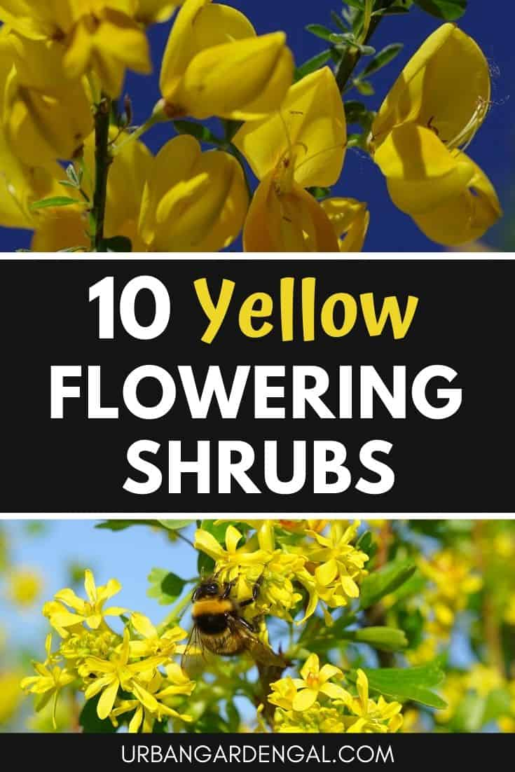 Yellow flowering shrubs