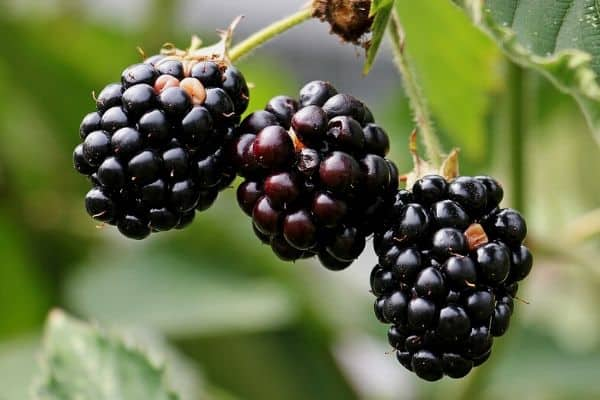 blackberry vine
