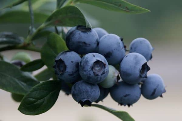 Blueberry climbing plant