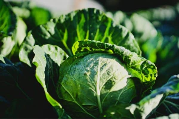 Growing cabbage plants