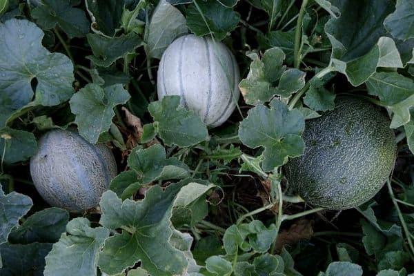 Cantaloupe plants