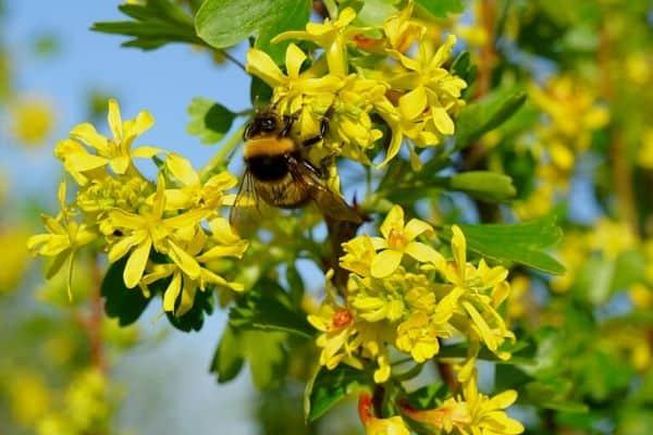 Golden currant shrub