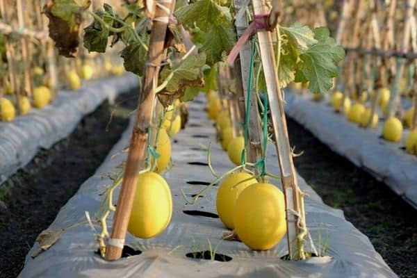 Melons growing on trellis