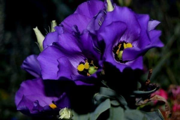Lisianthus blooms