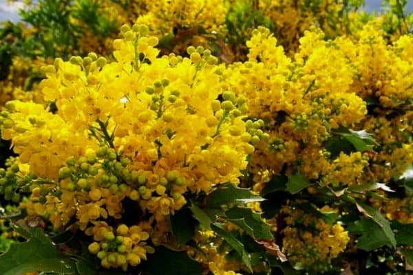 Shrubs with yellow flowers
